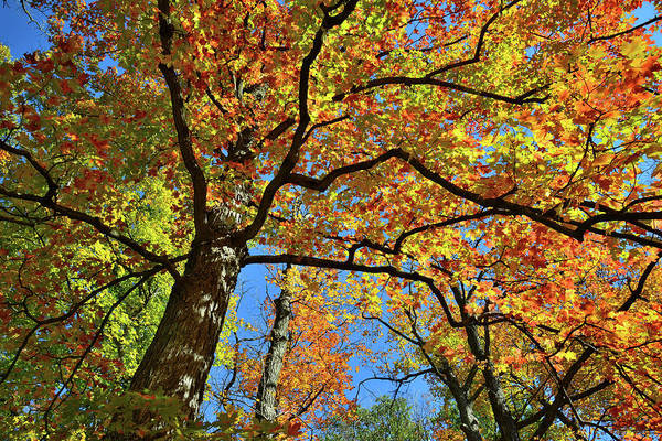 Photograph - Fall Color Canopy In Cook County Forest Preserve by Ray Mathis