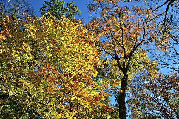 Photograph - Fall Color Canopy In Lake County by Ray Mathis