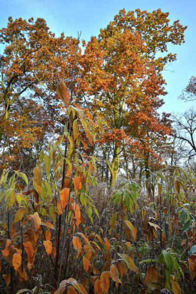 Photograph - Fall Color In Glacial Park Oak Savannah by Ray Mathis