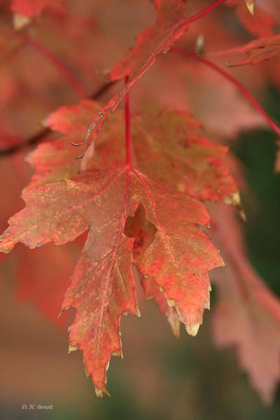 Photograph - Fall Color In Softness by Deborah Benoit