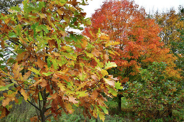 Photograph - Fall Color Sugar Maple And Oak In Veteran's Acres by Ray Mathis