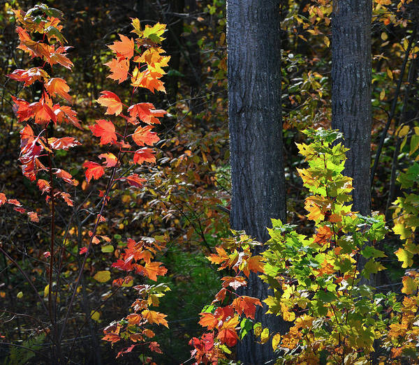 Photograph - Fall Colors Along I-39 In Wisconsin by Ray Mathis