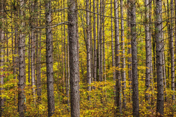 Photograph - Fall Colors Among The Pine Trees by Randall Nyhof