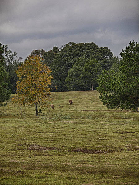 Photograph - Fall Colors And Cows by Charles McKelroy