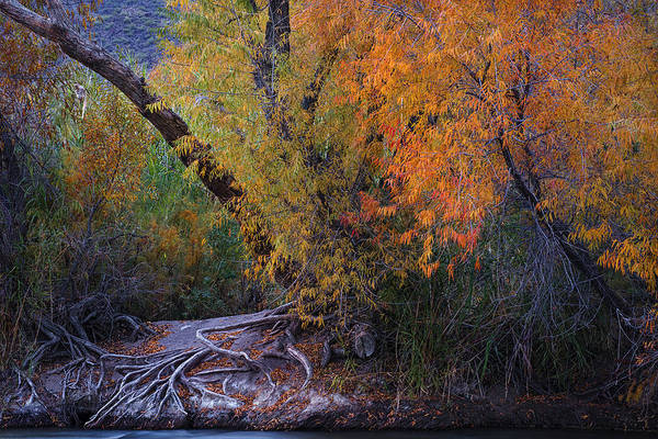 Wall Art - Photograph - Fall Colors At The Salt River by Dave Dilli