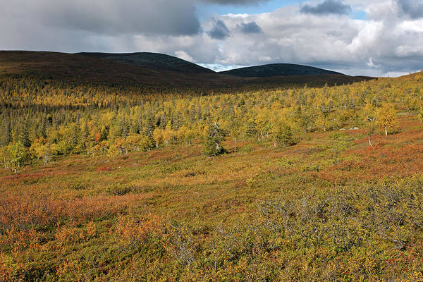 Photograph - Fall Colors In Tundra by Aivar Mikko