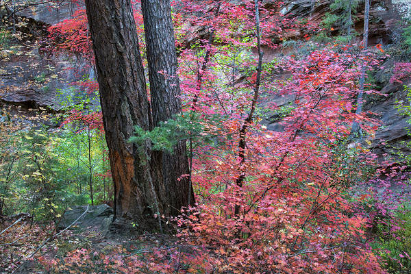 Fall Colors In West Fork Of Oak Creek Canyon Art Print