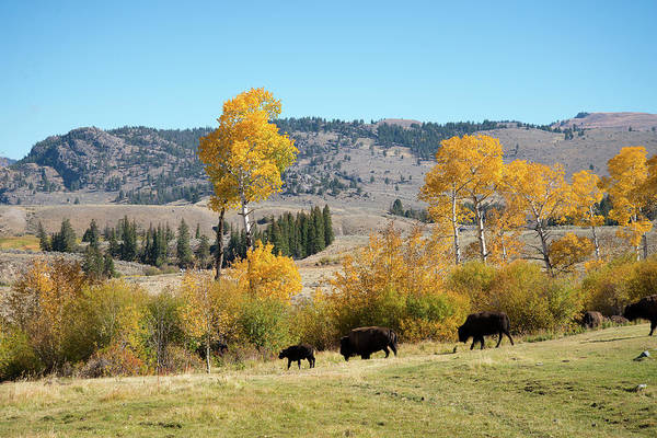 Photograph - Fall Colors With A Few Bison by Frank Madia