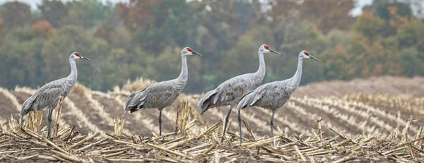 Photograph - Fall Cranes 2016 by Thomas Young