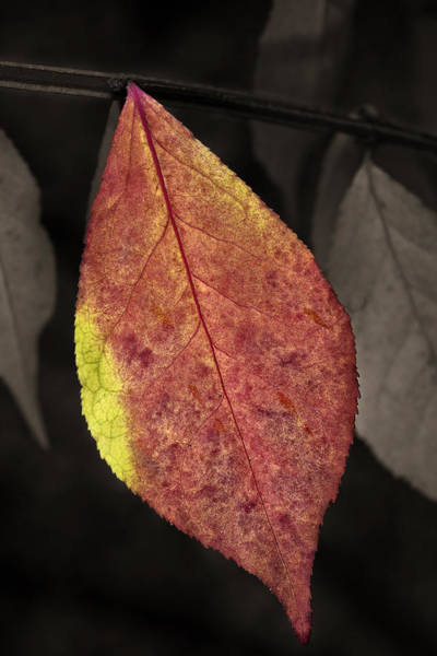 Photograph - Fall Elder Leaf by Dick Pratt