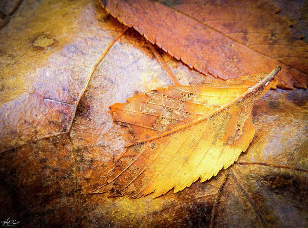Photograph - Fall Elm Leaves by Philip Rispin