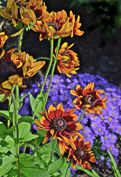 Photograph - Fall Gardens Black-eyed Susans And Asters 4 by Janis Nussbaum Senungetuk