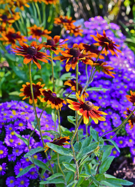 Photograph - Fall Gardens Black-eyed Susans And Astors 3 by Janis Nussbaum Senungetuk