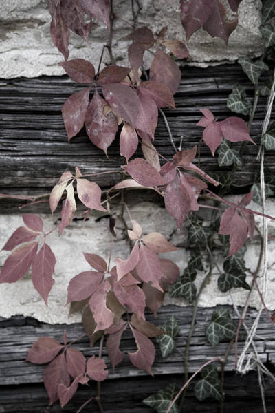 Photograph - Fall Ivy by Pete Hellmann