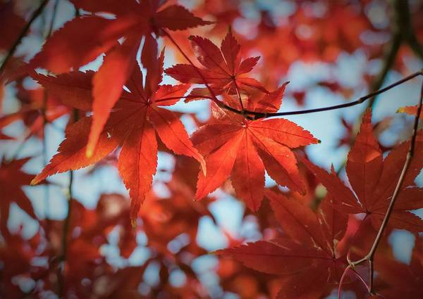Photograph - Fall Japanese Maple by Keith Smith