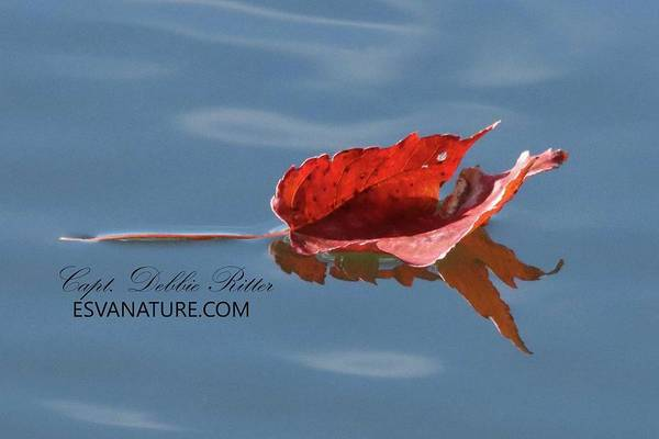 Photograph - Fall Leaf 1224 by Captain Debbie Ritter