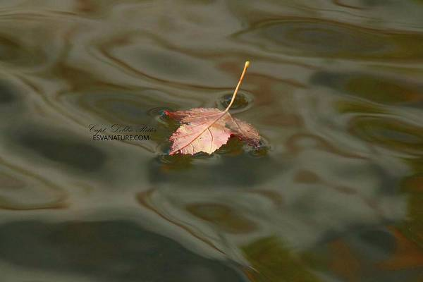 Photograph - Fall Leaf 1253 by Captain Debbie Ritter