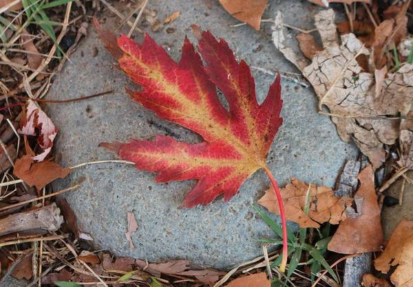 Photograph - Fall Leaf  by Christy Pooschke