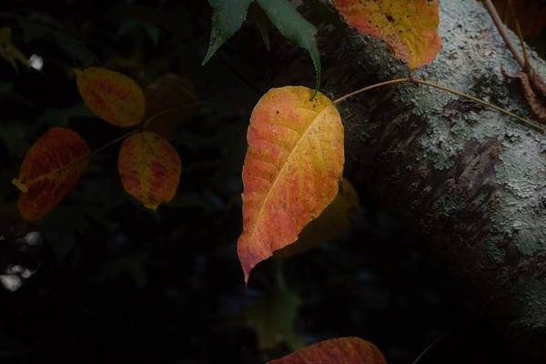 Photograph - Fall Leaf by Keith Smith