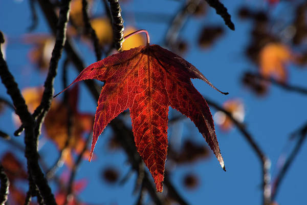 Wall Art - Photograph - Fall Leaves 1 by Kevin O'Hare