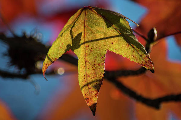 Wall Art - Photograph - Fall Leaves 6 by Kevin O'Hare