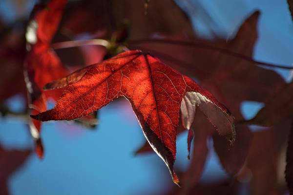 Wall Art - Photograph - Fall Leaves 9 by Kevin O'Hare