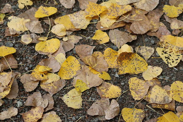 Photograph - Fall Leaves by Christy Pooschke