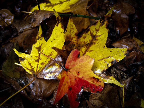 Photograph - Fall Leaves by Louis Dallara