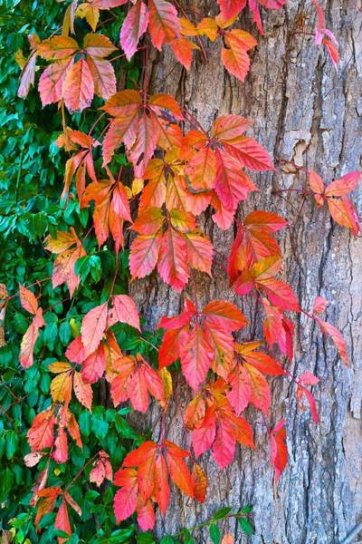 Photograph - Fall Leaves With Bark by Polly Castor