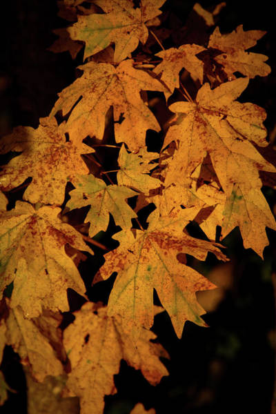 Photograph - Fall Maple 6031 H_2 by Steven Ward