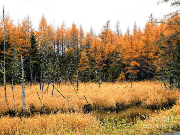Aroostook Photograph - Fall Marsh Grass And Tamarack by William Tasker