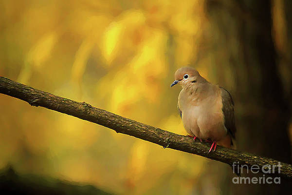 Wall Art - Photograph - Fall Mourning Dove by Darren Fisher