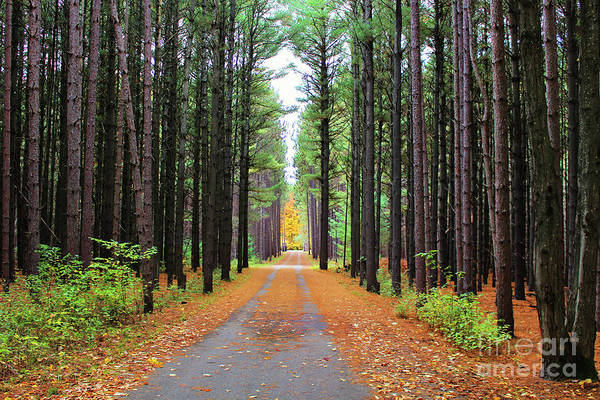 Photograph - Fall Pines Road by Laura Kinker