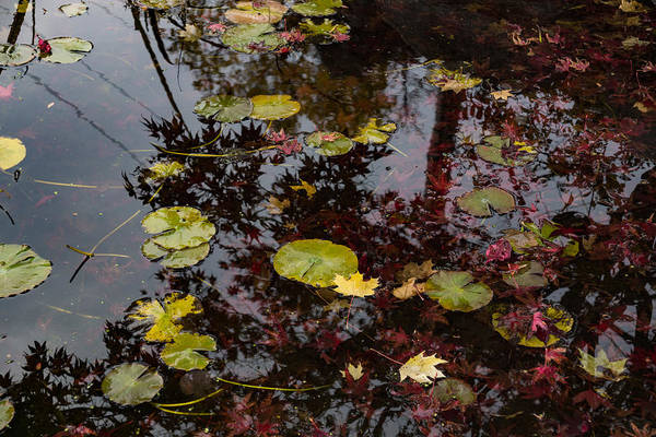 Photograph - Fall Pond Reflections - A Story Of Waterlilies And Japanese Maple Trees - Take One by Georgia Mizuleva