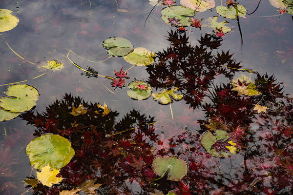 Photograph - Fall Pond Reflections - A Story Of Waterlilies And Japanese Maple Trees - Take Two by Georgia Mizuleva