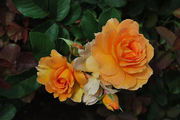 Wall Art - Photograph - Fall Roses by Linda Sramek