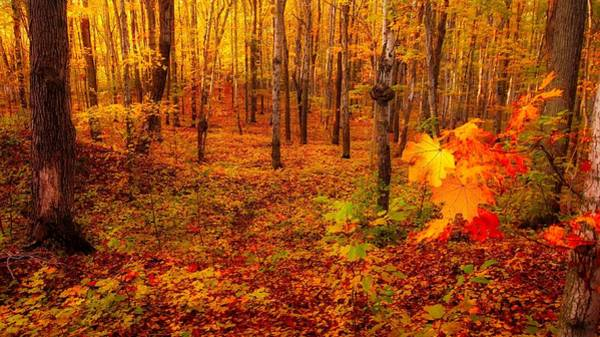 Photograph - Fall Sugar Bush by Bryan Smith