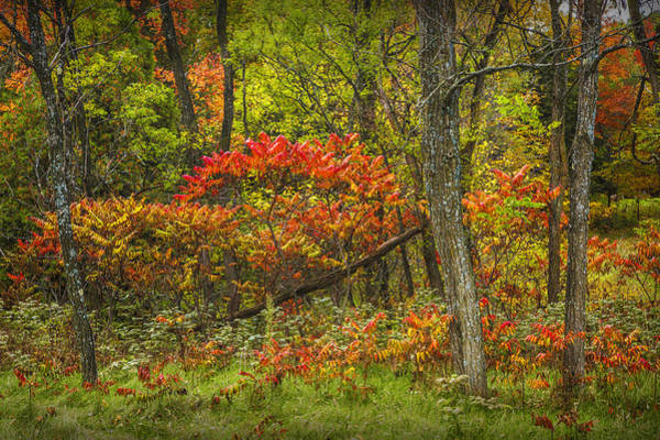 Photograph - Fall Sumac Trees With Red Leaves In A Michigan Forest During Autumn by Randall Nyhof