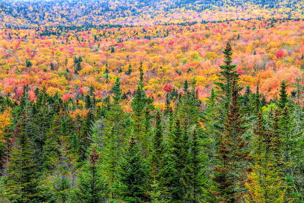 Photograph - Fall Trees And Evergreens In White Mountains by Dan Sproul
