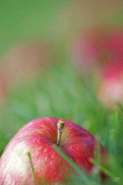 Macintosh Apple Photograph - Fallen Apples by Lisa Knechtel