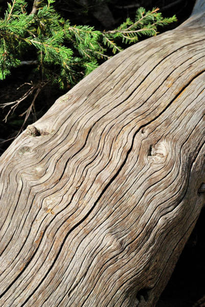 Photograph - Fallen Fir by Ron Cline