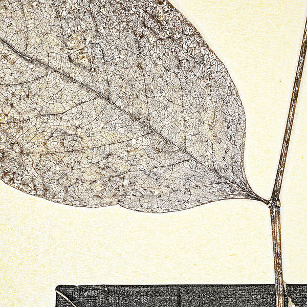 Pencil Sketch Photograph - Fallen Leaf One Of Two by Carol Leigh