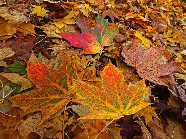 Photograph - Fallen Leaves by Gill Billington