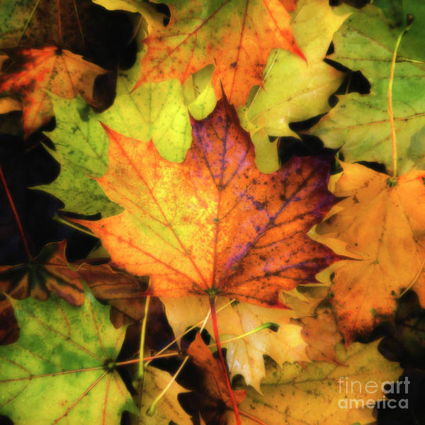Photograph - Fallen Maple Leaf by Rod Best