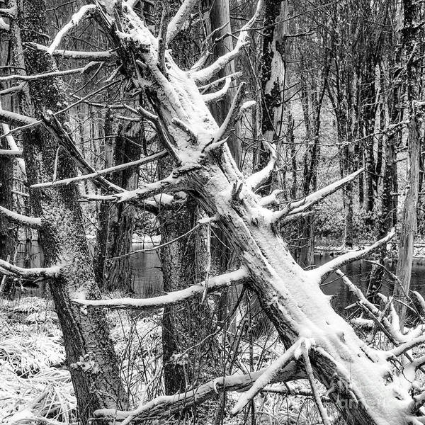 Photograph - Fallen Tree And Snow by Thomas R Fletcher