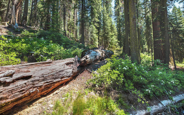 Photograph - Fallen Tree- by JD Mims