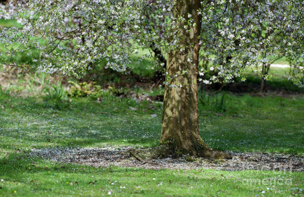 Fruit Tree Photograph - Falling Blossom by Tim Gainey