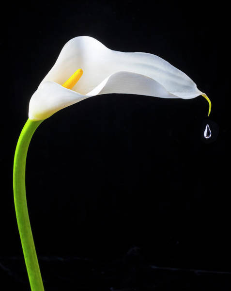 Calla Lilies Photograph - Falling Drop by Garry Gay