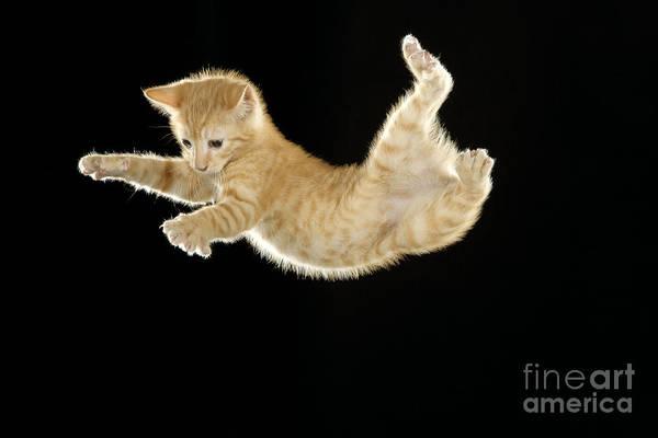 Photograph - Falling Kitten by Jean-Michel Labat