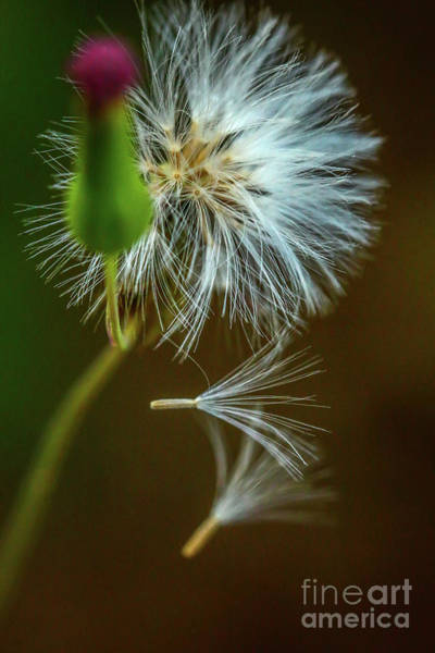 Photograph - Falling Seedpods by Tom Claud